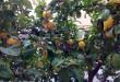 Limones Encurtidos al estilo Marroquí