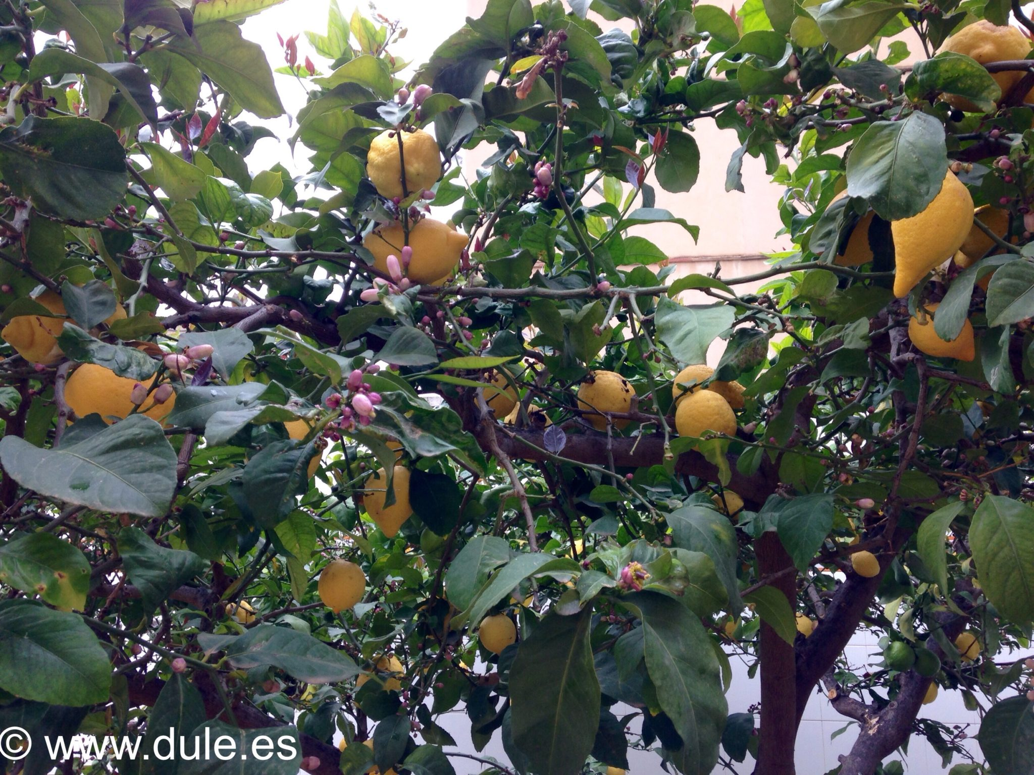 limonero ecologico